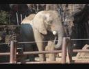 アフリカゾウの砂浴び(多摩動物公園)
