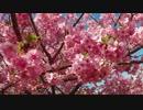 【モトブログ】河津桜といか様丼と時々、伊豆スカ【CBR250RR】
