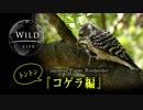 【日本最小のキツツキ】トントン コゲラ編【動画で見る野鳥 Japanese Pygmy Woodpecker bird】