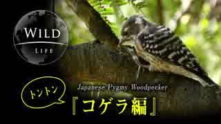 【動画で見る野鳥】日本最小のキツツキ: