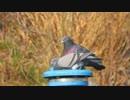 ホモと見る鳩の交尾