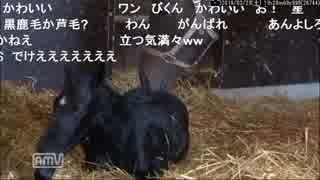 【クロフネ産駒】シュシュブリーズの出産2
