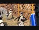 ケープペンギンがただ歩くだけ ~名古屋港水族館~