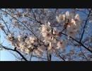 【桜】桜がきれいだったので観てきた【きれい】