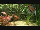 野坂美穂 熱帯魚水槽