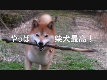 【 Shiba Inu Giro 】 Yappa Shiba Inu is the best! [Shiba Inu]