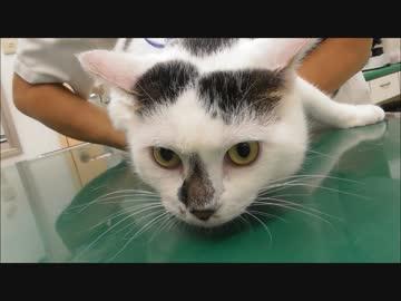 自分が注射される番だとわかると「嫌だーやめろー」と訴えてくる猫