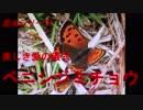 昆虫シリーズ 美しき愛の儀式 ベニシジミチョウ