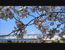 吉祥院堤の桜