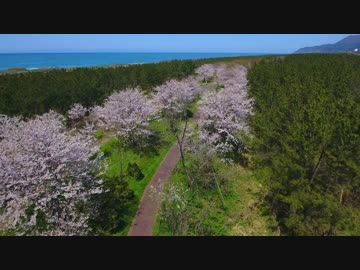 Cherry blossoms and blue sea, Japan Sea sunset forest cherry trees and sea collaboration was wonderful!!