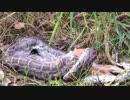 シカを丸呑みするビルマニシキヘビ