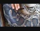 ムチムチボディなビルマニシキヘビ