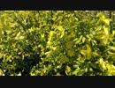 黒キャベツの花とミツバチ