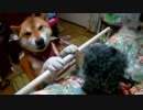 カメラのモフモフが気になる柴犬2