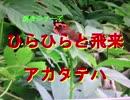 昆虫シリーズ ひらひらと飛来アカタテハ