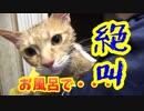 半年ぶりのお風呂で絶叫する猫。