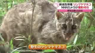 絶滅危惧種・ツシマヤマネコの姿捉える