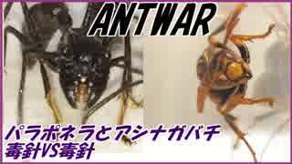 パラポネラVSアシナガバチ~毒針と毒針~