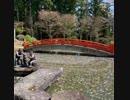❺❾桜の池