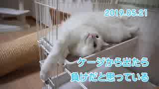 【HR299】ブラッシング前の時間稼ぎをする猫
