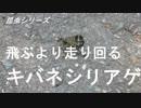 昆虫シリーズ 飛ぶより走り回るキバネシリアゲ