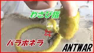 最強の蟻「パラポネラ」をわさびをぬった指でつついてみた結果・・・。