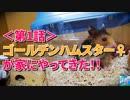 【第1話】ゴールデンハムスター♀が家にやってきた!【砂浴び...