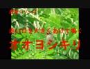 野鳥シリーズ 赤い口を大きくあけて鳴く オオヨシキリ