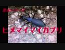昆虫シリーズ  ヒメマイマイカブリ