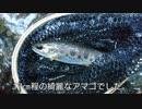 #13 【渓流釣り】京都の渓流でアマゴ釣り!堰堤下で連発!?【ルアー】
