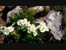 谷川岳の花々