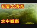 072【水中観察】初夏の清流
