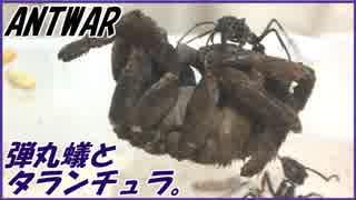 アリにタランチュラを与える。
