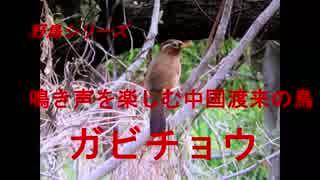野鳥シリーズ 鳴き声を楽しむ中国渡来の鳥 ガビチョウ