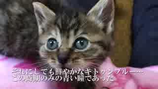 子猫のあざやかキトゥンブルー