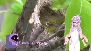 【VOICEROID劇場】ゆかりさんと野鳥観察