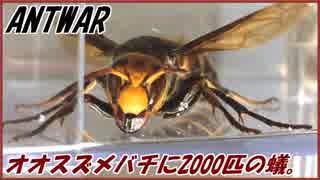 捕獲したオオスズメバチに群がる2000匹のアリ。