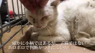 衰弱したボロボロの白い猫、保護される