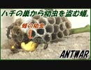 A group of ants robbing a bee larva from a bee's nest