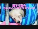 "【 Daily life 】 Cunygen (Poulin) on the verge of sleeping (Search for ""Onechu dog"" on YouTube!)"