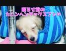 【日常】寝る寸前のカニンヘンダックスフンド(プリン)(YouTubeで『ワンチュー犬』を検索!)