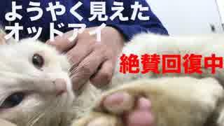 ボロボロだった白い保護猫、膝上で甘ったれる