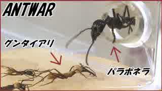 蟻界2大最強のグンタイアリとパラポネラが出会う瞬間。