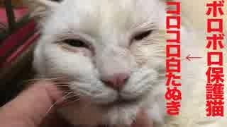 ボロボロだったオッドアイの保護猫、コロコロ白たぬきになる