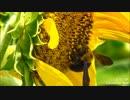ひまわり畑とクマバチ