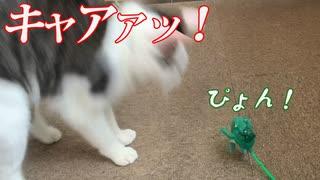猫にカエルのおもちゃでびっくりさせてみた。
