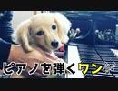 【名シーン】ピアノを弾く犬(カニンヘンダックスフンド)♪かっこう/かえるのうた