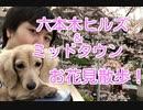 【お花見散歩】六本木ヒルズ・ミッドタウン付近で犬と散歩(YouTubeで『ワンチュー犬』を検索!)