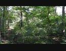 【フリー自然音】川の近くの林の音。夏【立体音響】