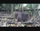 中国南西部、野生パンダの貴重映像